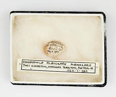 Gilbert Photograph - Conopophila Albogularis Egg by Natural History Museum, London