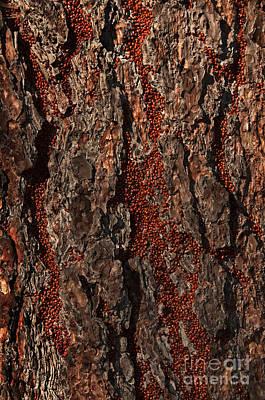 Convergent Lady Beetles Print by Ron Sanford