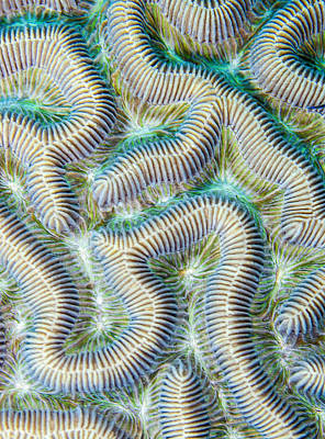 Coral Maze Print by Jean Noren