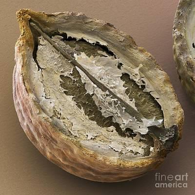 Coriander Fruit, Sem Art Print by Cheryl Power
