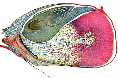 Food Stores Photograph - Corn Niblet, Light Micrograph by Dr. Keith Wheeler