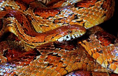 Corn Snake Photograph - Corn Snake by Millard H. Sharp