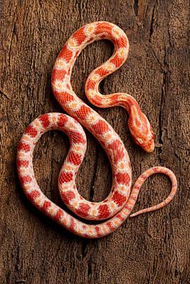 Corn Snake Photograph - Corn Snake P. Guttatus On Tree Bark by David Kenny