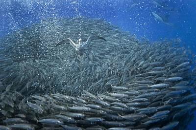 Cory's Shearwaters Hunting Mackerel Art Print