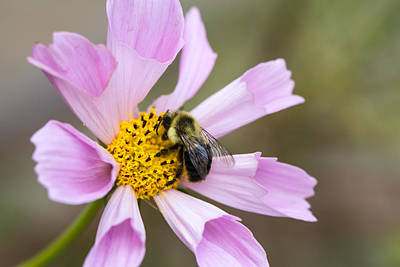 Cosmos And Bee Art Print