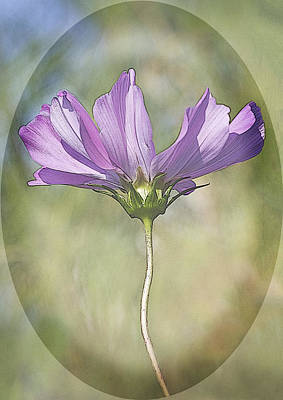Photograph - Cosmos by Barbara Smith