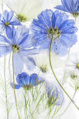 Blue Floral Photograph - Cosmos Blue by Mandy Disher
