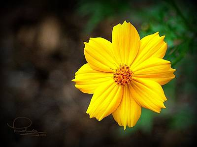 Keck Photograph - Cosmos Flower by Ludwig Keck