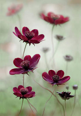 Maroon Photograph - Cosmos Sway by Mandy Disher