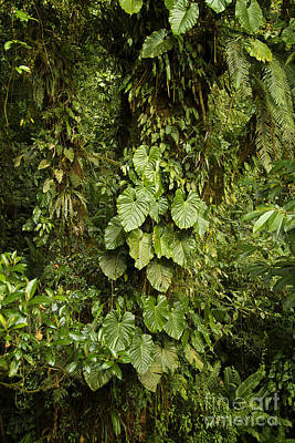 Photograph - Costa Rica Rain Forest by Carrie Cranwill
