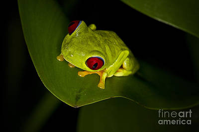 Photograph - Costa Rica Tree Frog by Carrie Cranwill