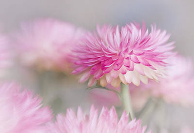 Strawflower Photograph - Cotton Candy by David and Carol Kelly