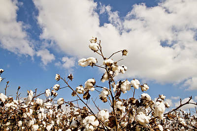 Boll Photograph - Cotton In The Sky by Scott Pellegrin