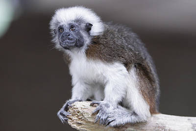 Art Print featuring the photograph Cotton Top Tamarin by Shoal Hollingsworth
