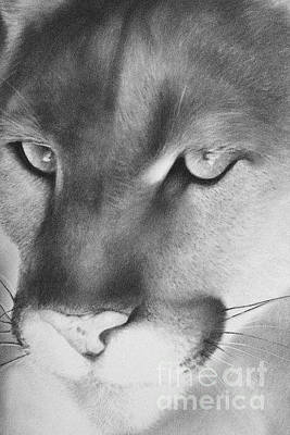 Drawing - Cougar by Adrian Pickett