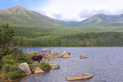 Photograph - Cow Moose And Mount Katahdin by John Burk