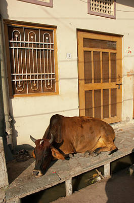 Cow Sleeping On The Sidewalk, Udaipur Art Print by Inger Hogstrom