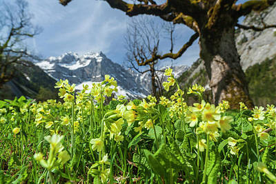 Natures Impressive Mountains Photograph - Cowslip (primula Veris by Martin Zwick