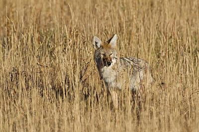 Coyote - 4387 Art Print