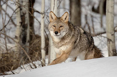 Photograph - Coyote On The Prowl by Jack Bell