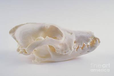 Coyote Skull Art Print