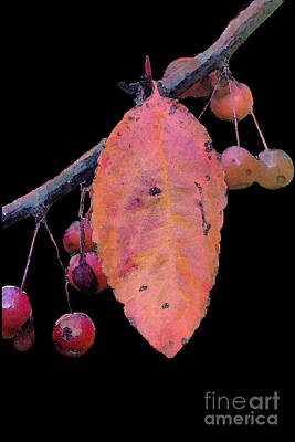 Rosaceae Photograph - Crabapples by Betty LaRue