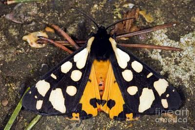 Tiger Markings Photograph - Cream-spot Tiger Moth by Dr. Keith Wheeler