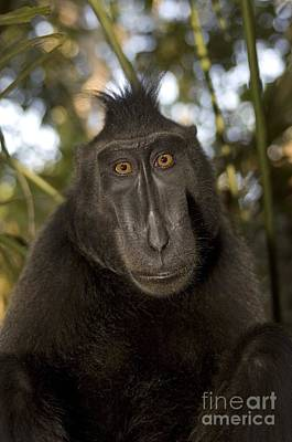 Photograph - Crested Black Macaque by Matthew Oldfield