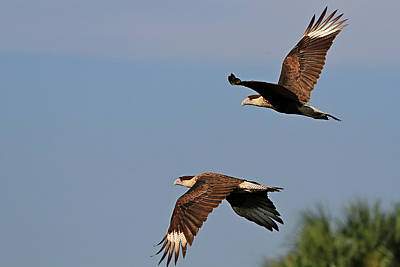 Photograph - Crested Caracara Pair by Ira Runyan