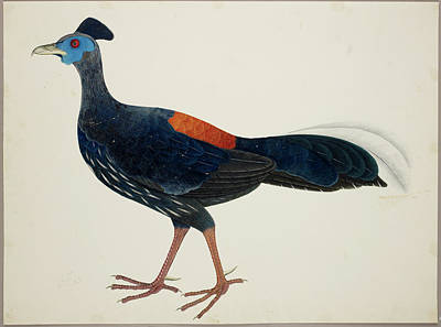 Pheasant Photograph - Crested Fireback Pheasant by British Library