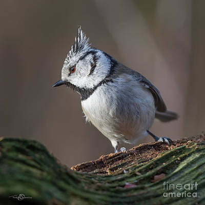 Parus Photograph - Crested  by Torbjorn Swenelius
