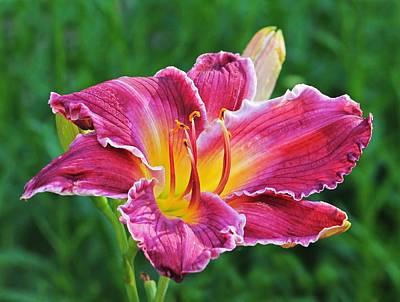 Crimson Day Lily Art Print