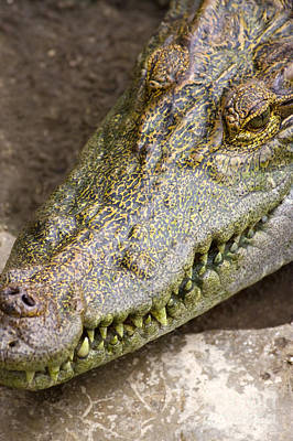 Reptiles Royalty-Free and Rights-Managed Images - Crocodile by Jorgo Photography - Wall Art Gallery