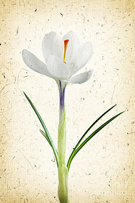 Photograph - Crocus Flower by Elena Elisseeva