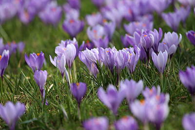 Lenz Wall Art - Photograph - Crocus In Spring by Heike Hultsch