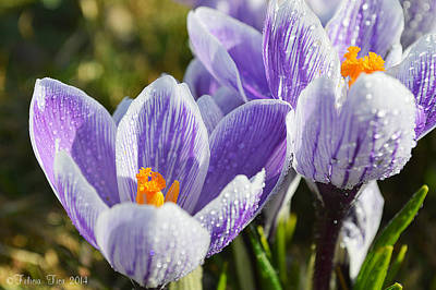 Photograph - Crocus Love by Felicia Tica