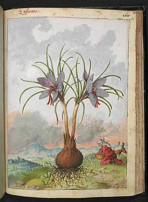 Crocus Sativus Flowers Print by British Library