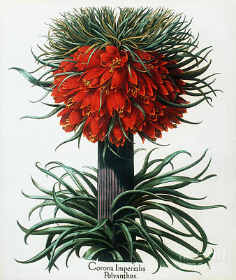 Crown Imperial Plant Art Print by Georgette Douwma