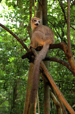 Crowned Lemur (eulemur Coronatus Art Print