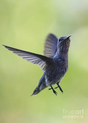 Photograph - Curious Hummingbird by Carol Groenen