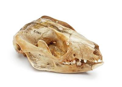 Marsupial Photograph - Cuscus Skull by Ucl, Grant Museum Of Zoology