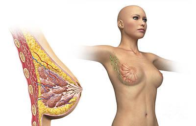 Breast Augmentation Digital Art - Cutaway View Of Female Breast by Leonello Calvetti