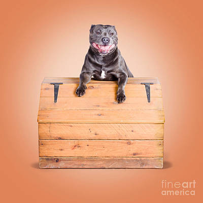 Cute Purebred Blue Staffy Dog Posing On Wooden Box Art Print