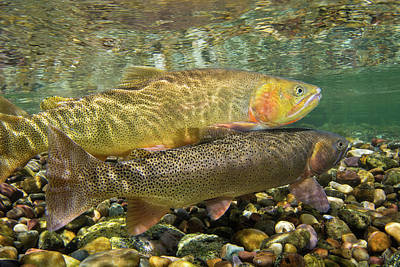 Cutthroat Trout Spawning In The Gros Art Print by Charlie James