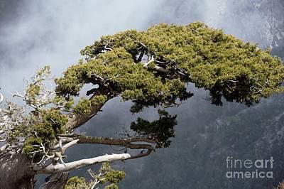 Cypresses Cupressus Sempervirens Art Print by Bob Gibbons