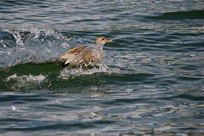 Dabbling Duck Water Landing 2 Original