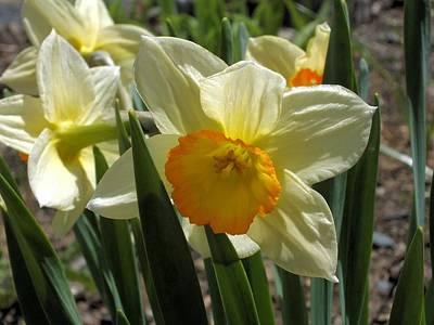 Photograph - Daffodil by Gene Cyr