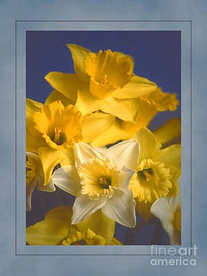 Photograph - Daffodils by David Birchall