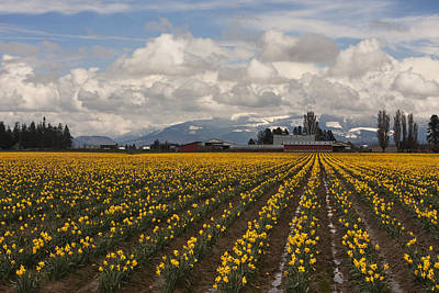 Skagit Photograph - Daffodils Forever by Mark Kiver