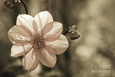 Photograph - Dahlia by Design Windmill